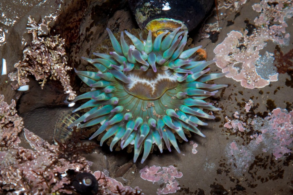 Bolinas_Duxbury_Reef_Sea_Anemone-XL-1000x667.jpg
