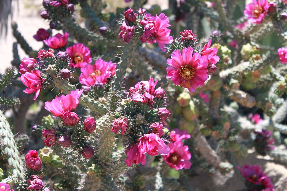 twentyninepalms-wildflowers.jpg