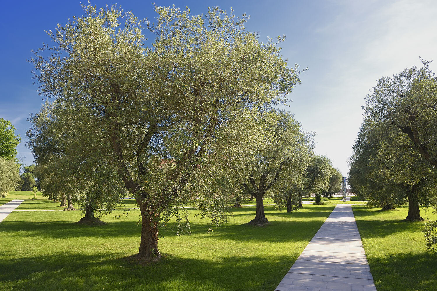 More than 100 olive oil groves are in peak season this fall at JW Marriott Venice Resort & Spa.