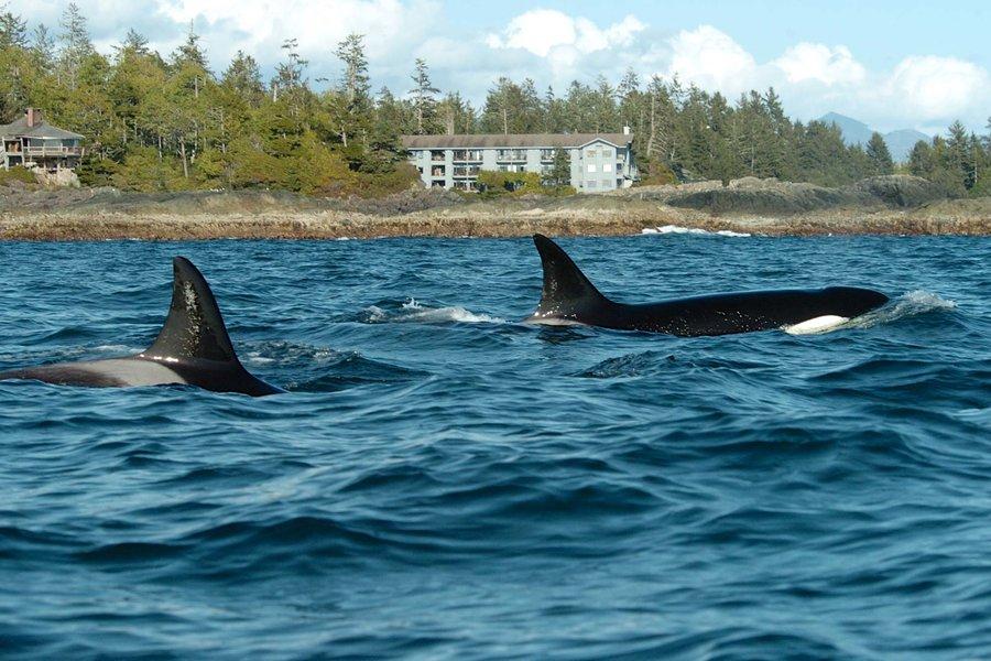 orcas-outside-wickaninnish-inn-BCCONSERVE0719.jpg