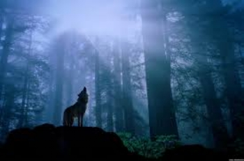 Wolf, Loup, Vision Quest
