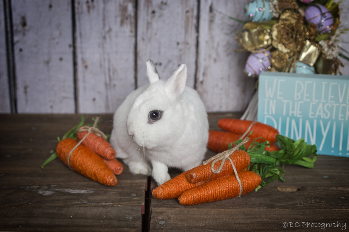Meet Oliver - I will have a live bunny available to be part of your portrait session.
