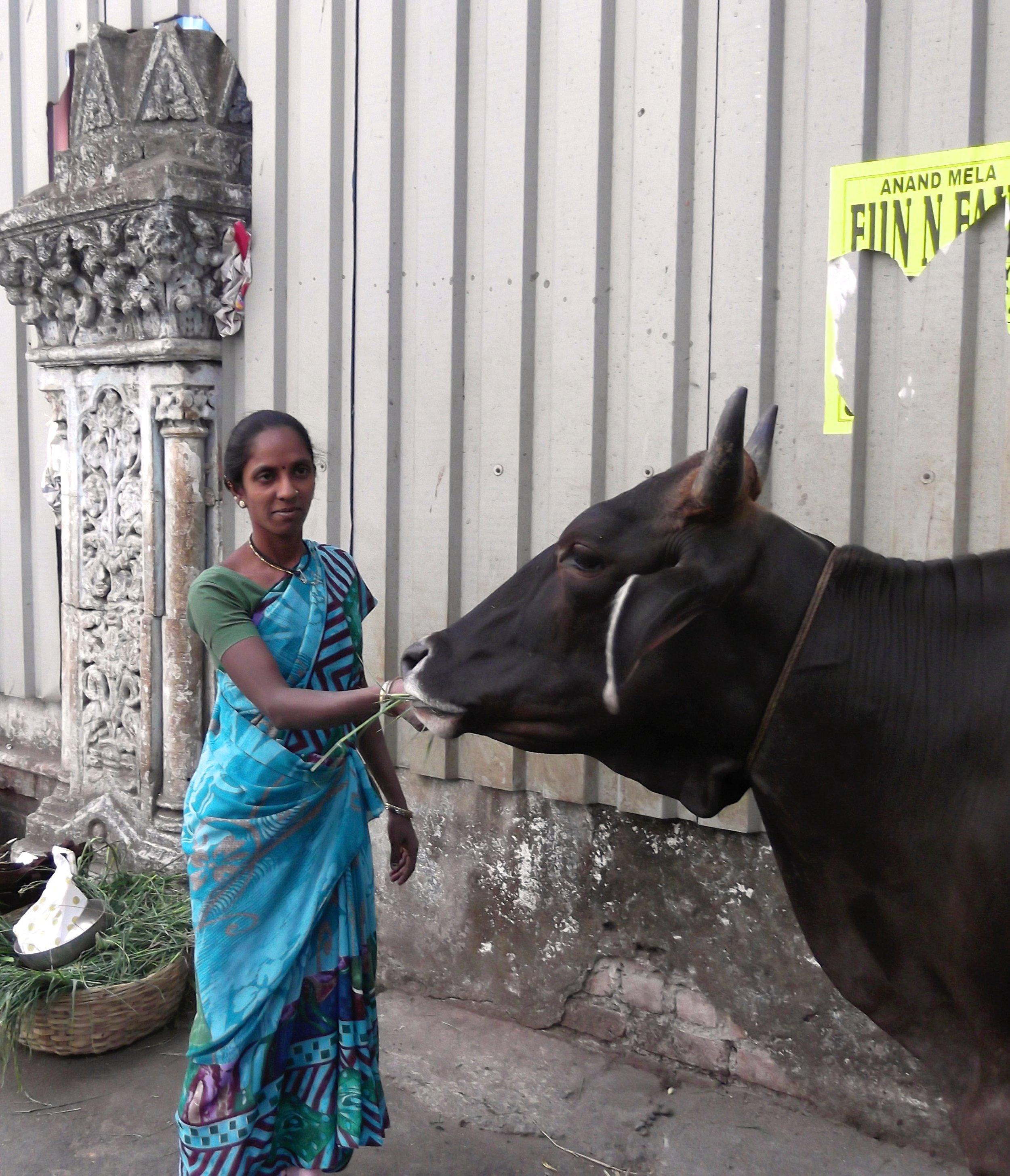 Woman feeding cow India.jpg