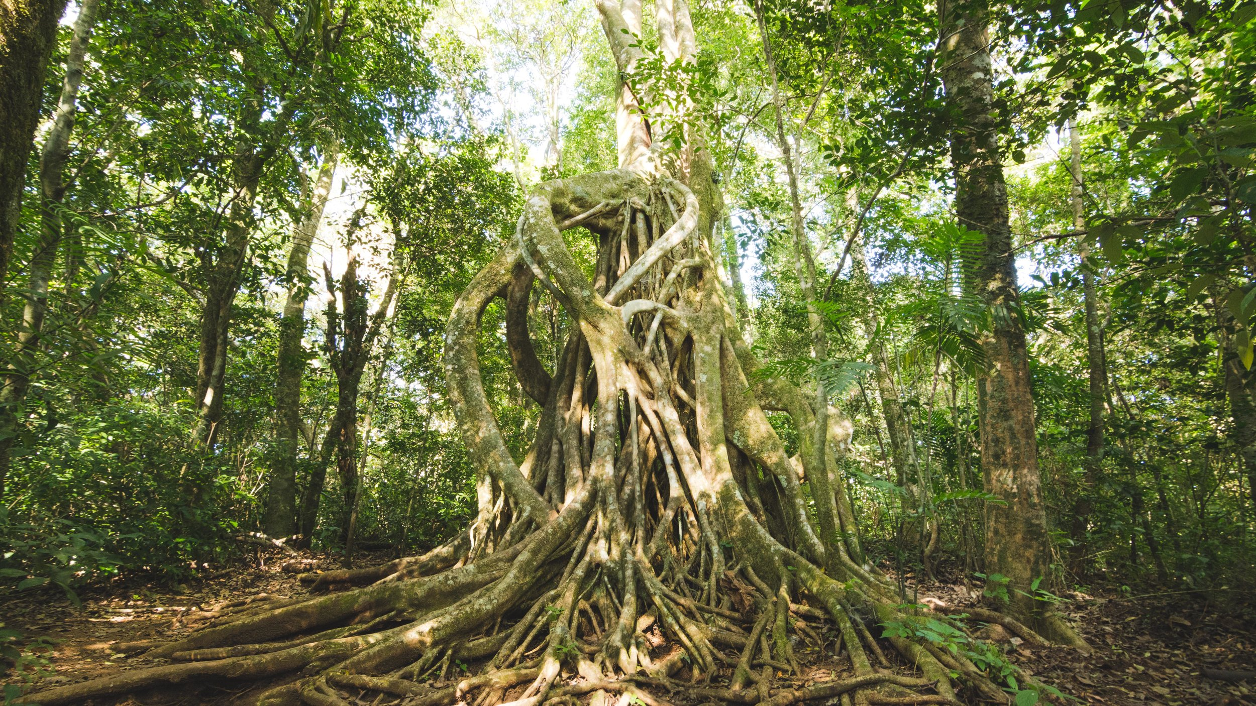 A majestic strangler fig in one of our trails, this tree plays an essential role in the complex web of life in the tropics.
