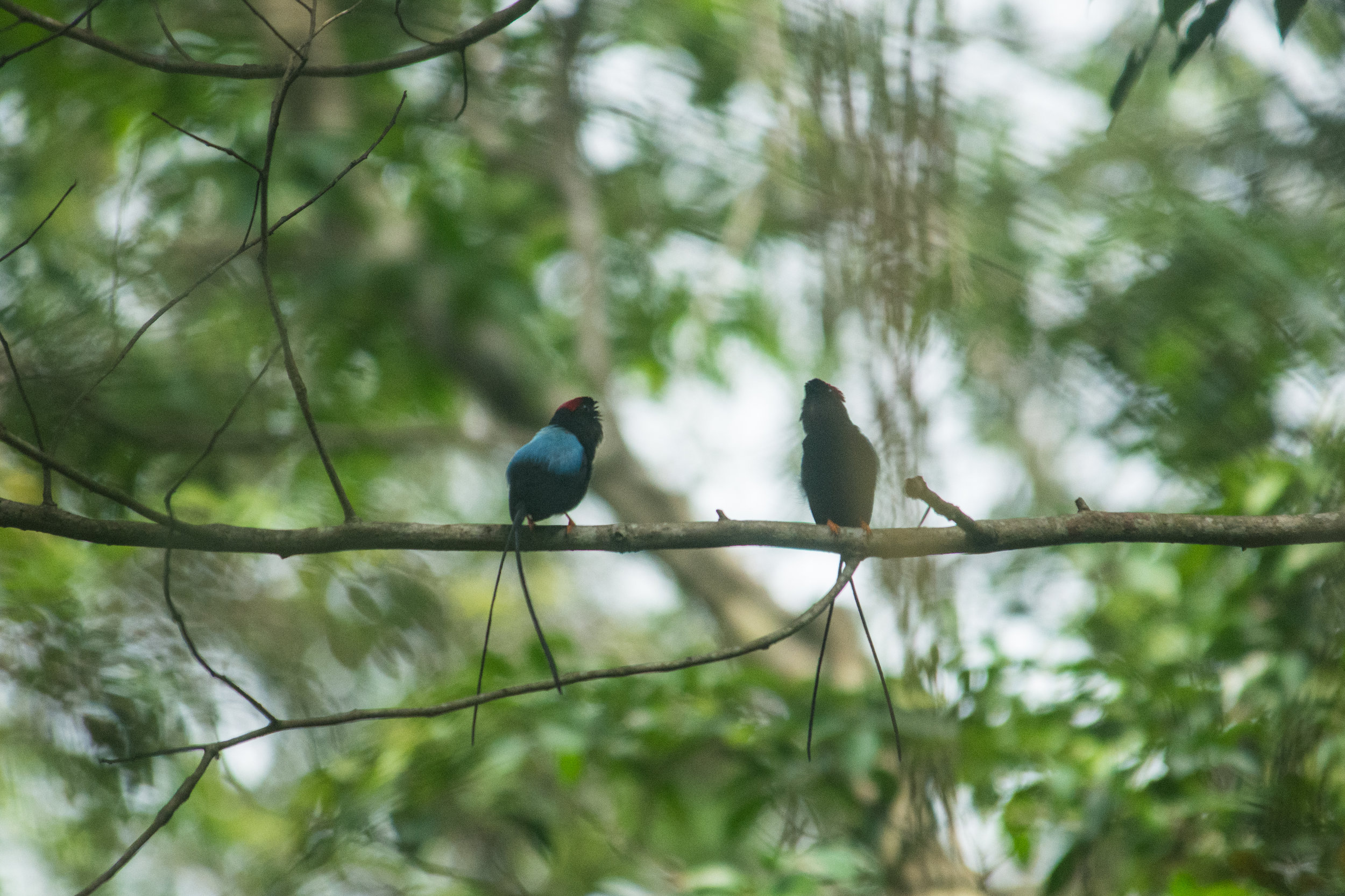 Long tailed manakins doing a courtship call are allso a common sight nearby pur plantation during April, our small family operation main concern is to be able to not only coexist but to benefit nature with reforestation proyects and also by protecting the land for future generations.