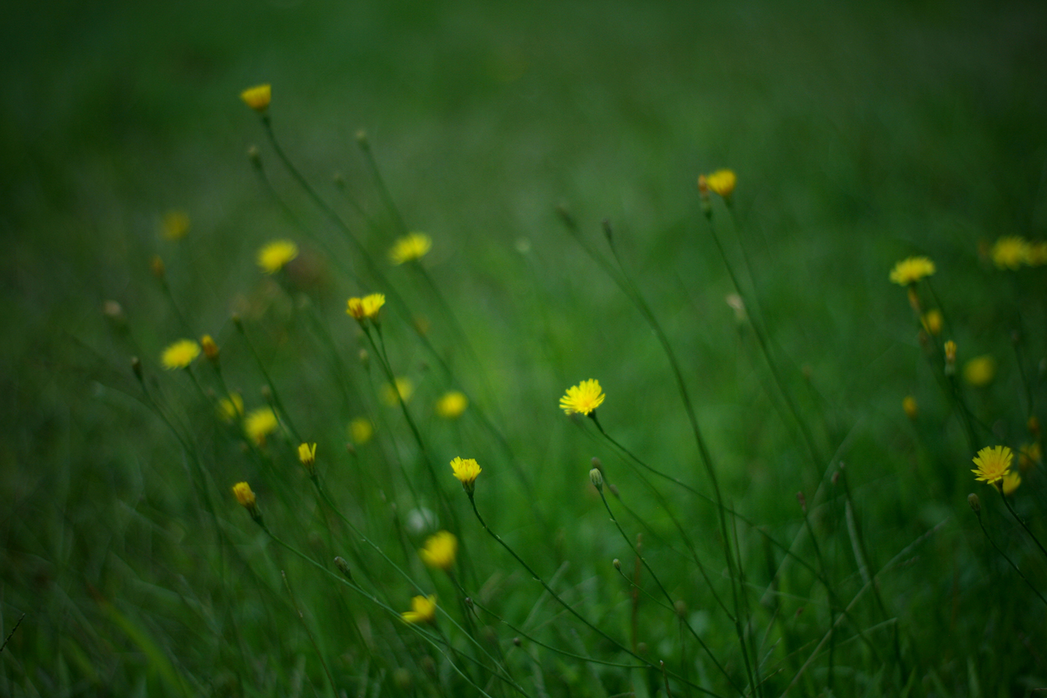 yellow hawkweed: edible flowers and other foraged flora