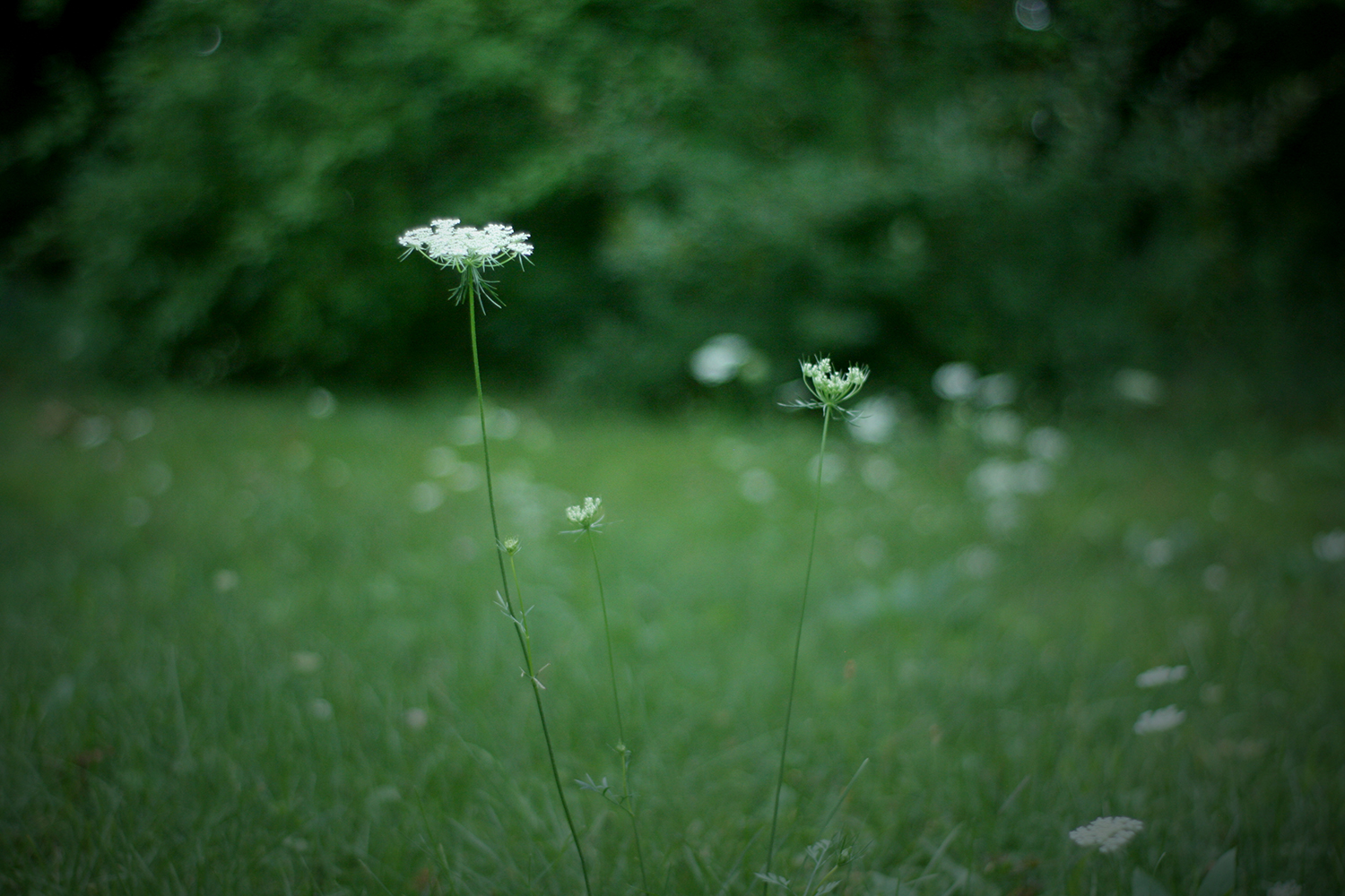 queen anne's lace: edible flowers and other foraged flora