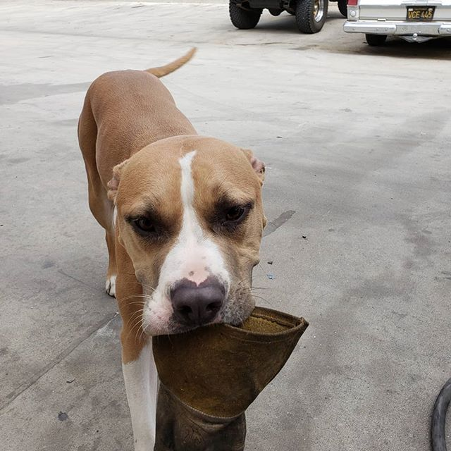 Dad's helper! Was looking for my welding glove.. #pitbull #pitbullsofinstagram #hotrod #pit #shehasaheartnose