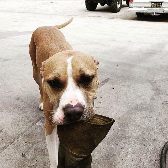 Happy #nationaldogday #pitbullsofinstagram #terrier #apotdontshop #rescuedogs