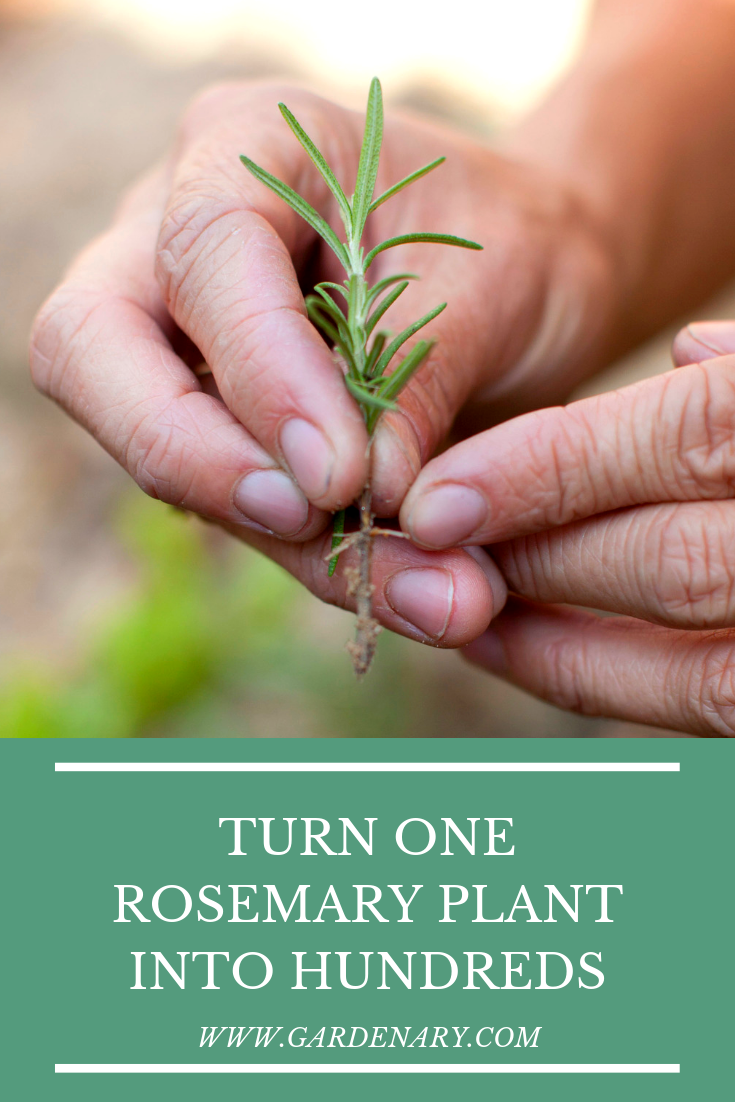 Turn One Rosemary Plant Into Hundreds (v2).png