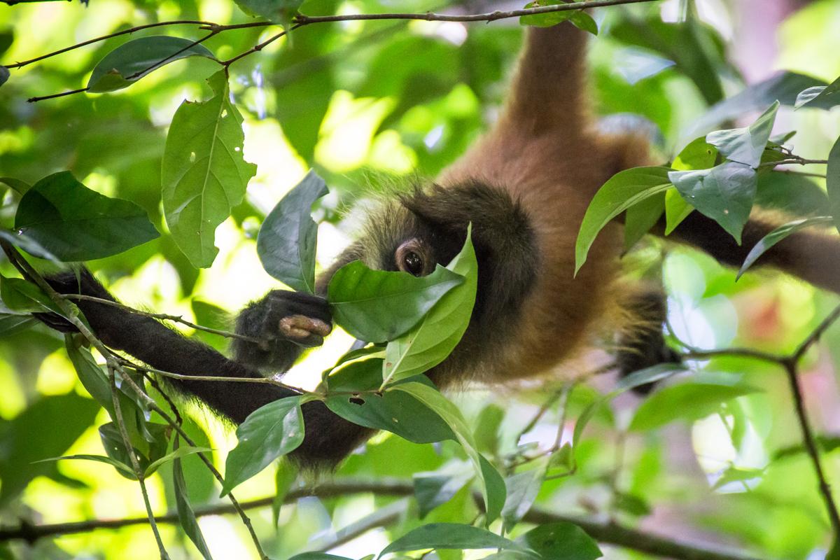 Wild Howler Monkey // Corcovado National Park, Costa Rica // 2017