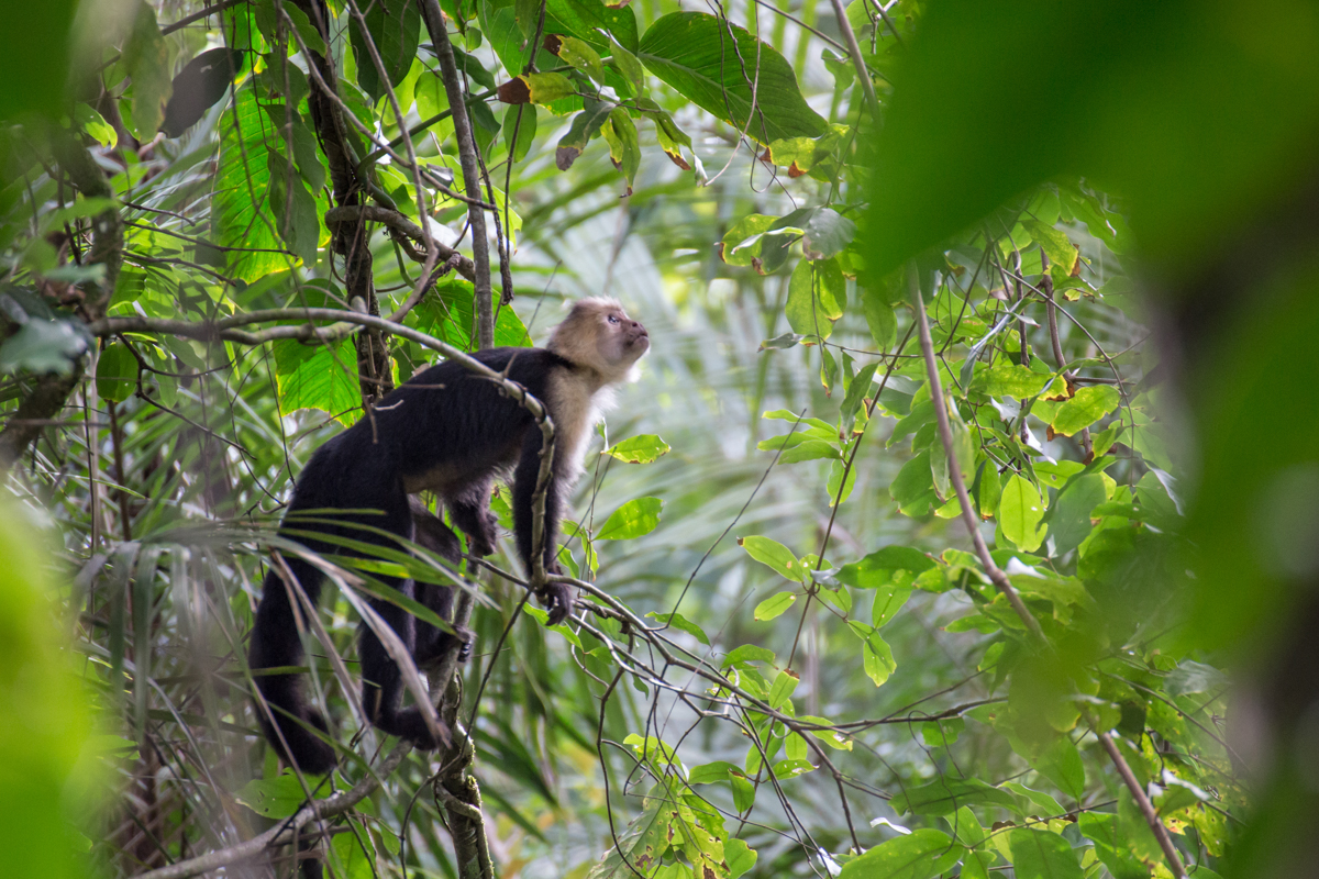 Wild Capuchin Monkey // Corcovado National Park, Costa Rica // 2017
