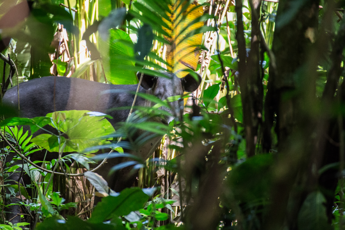 Wild Tapir // Corcovado National Park, Costa Rica // 2017