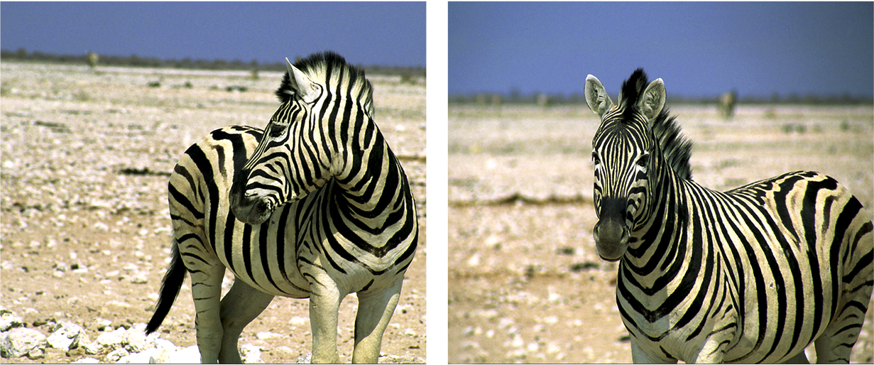 Travel Image ~ Zebra - Etosha National Park, Northern NamibiaDuring the dry season at Etosha National Park in Northern Namibia, the wildlife can be seen interacting at the waterholes throughout the barren landscape. It is fascinating to watch giraffes and springbok, zebras and gemsbok all converge on one body of water. One particularly memorable morning, all the animals were out and about but they seemed very skittish and hyper alert. Groups would cautiously drink from the watering hole, then suddenly flee and then return. We suspected that a pack of lions was on the prowl and waited to see if they would emerge. The lions never appeared but the tension and anxiety was palpable. Of the wildlife, the zebras never fail to bring smiles with their eccentric black and white patterning and striped mohawks. Plus, they are rebellious & cannot be domesticated.