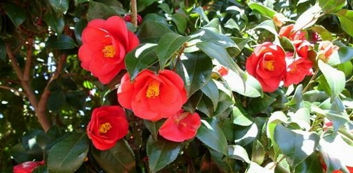Pink camellias in full bloom.