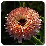 calendula-strawberry blonde.jpg