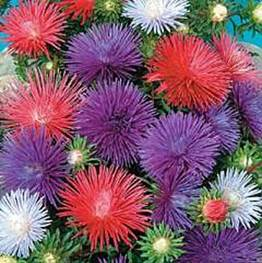china aster-sea star.jpg