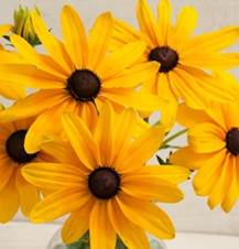 rudbeckia-indian summer.jpg