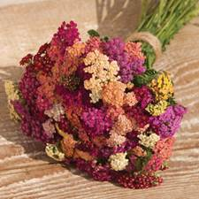 yarrow-colorado mix.jpg