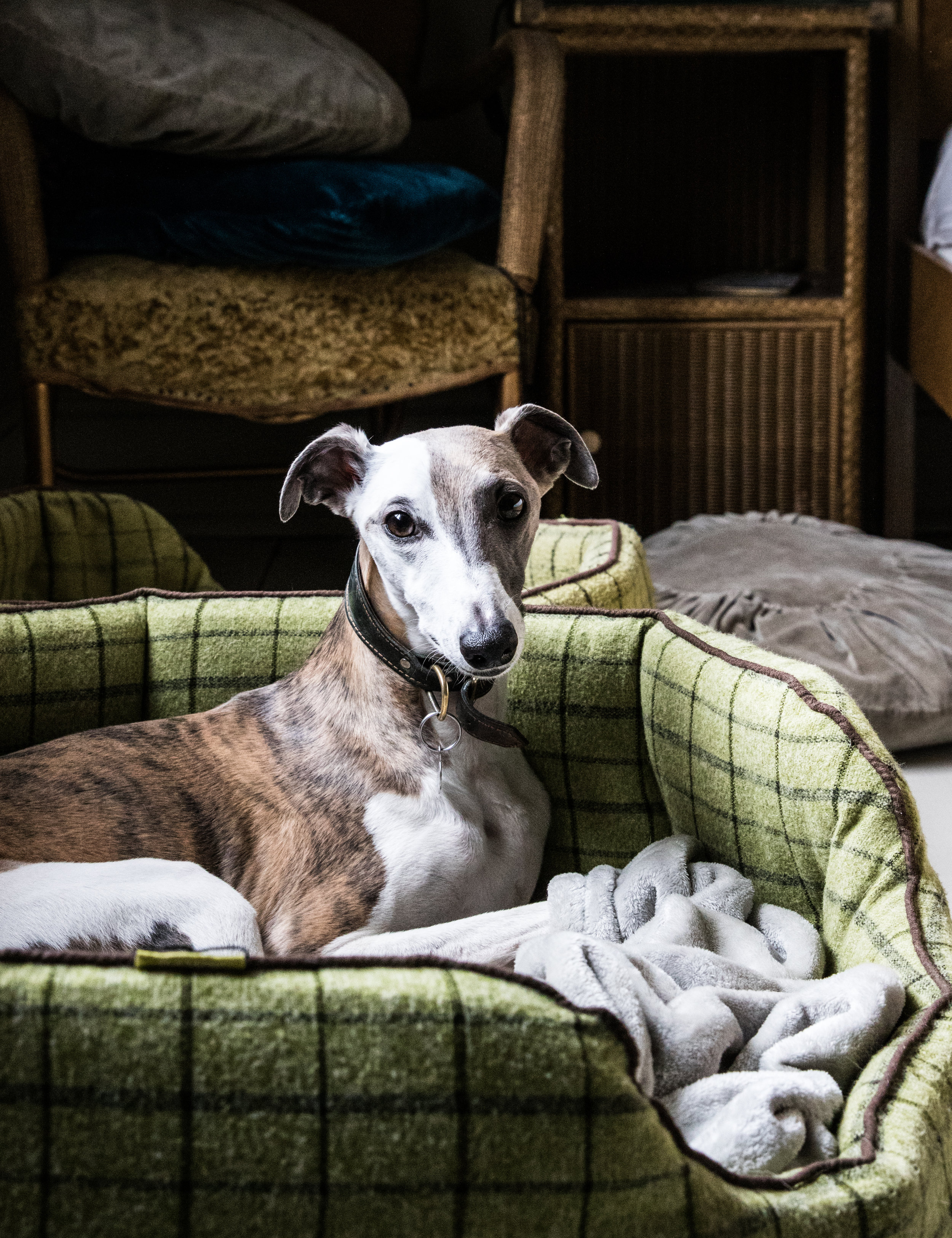 Ludo, the Whippet waiting patiently for his walk…