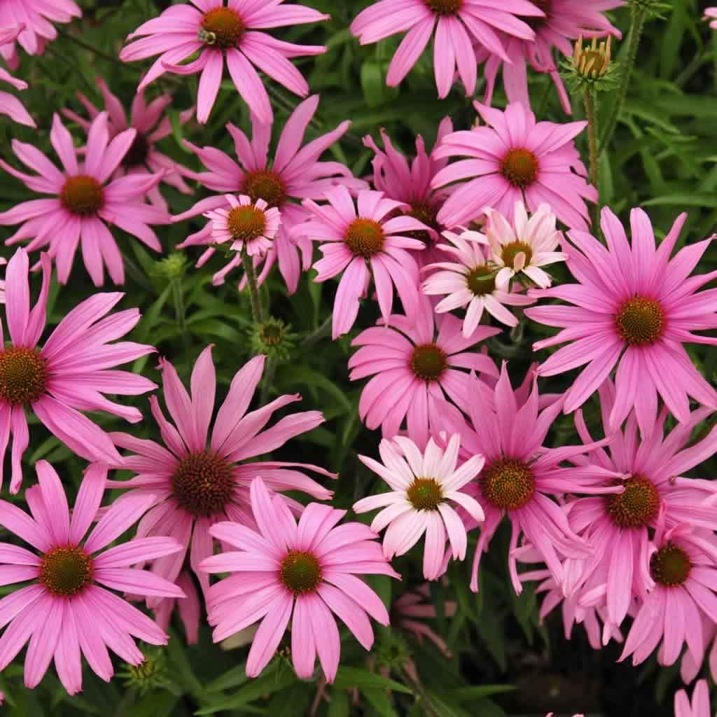 public-domain-coneflower-flowers_1200x1200.jpg