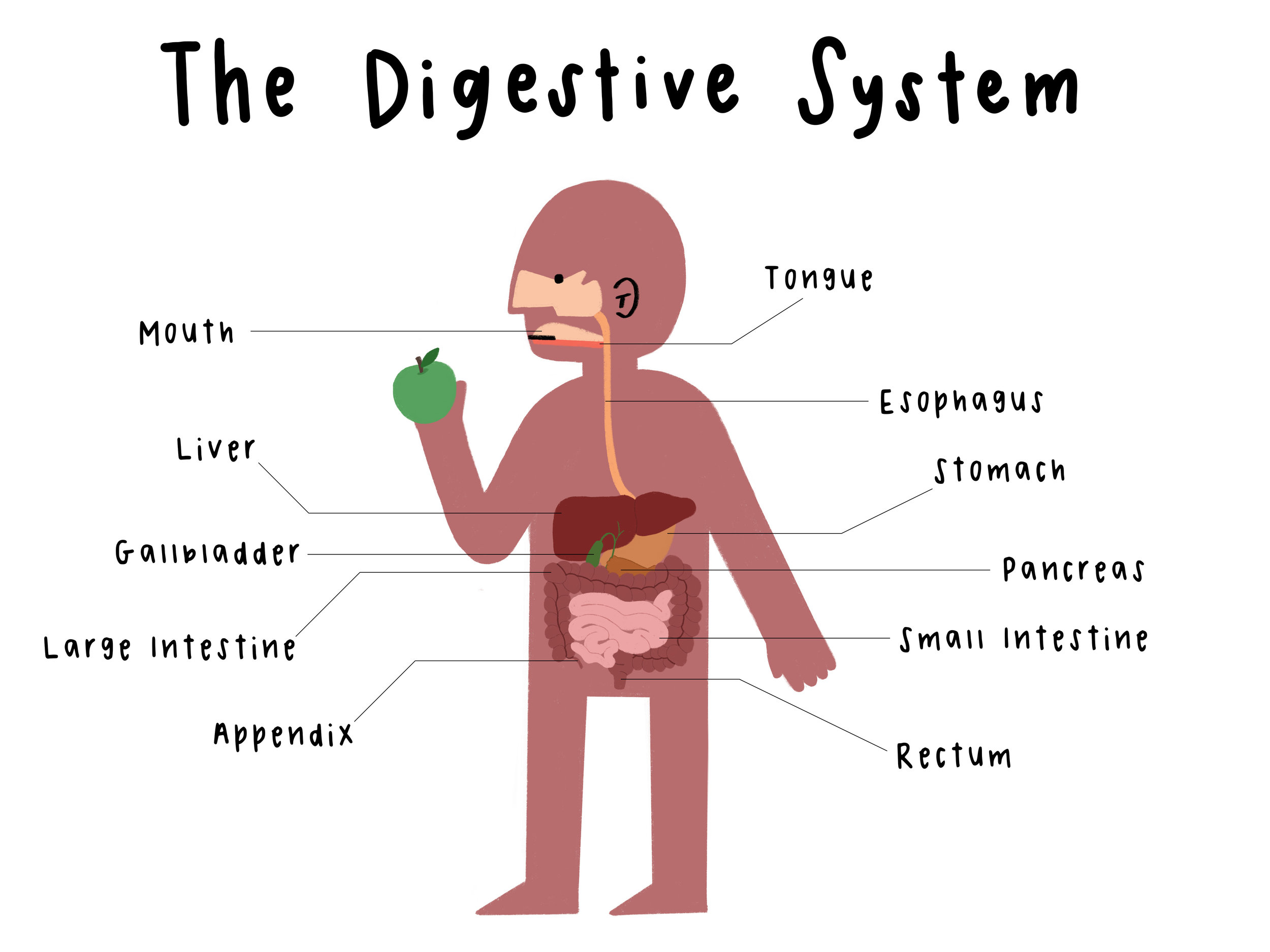 the digestive system_labeled.jpg