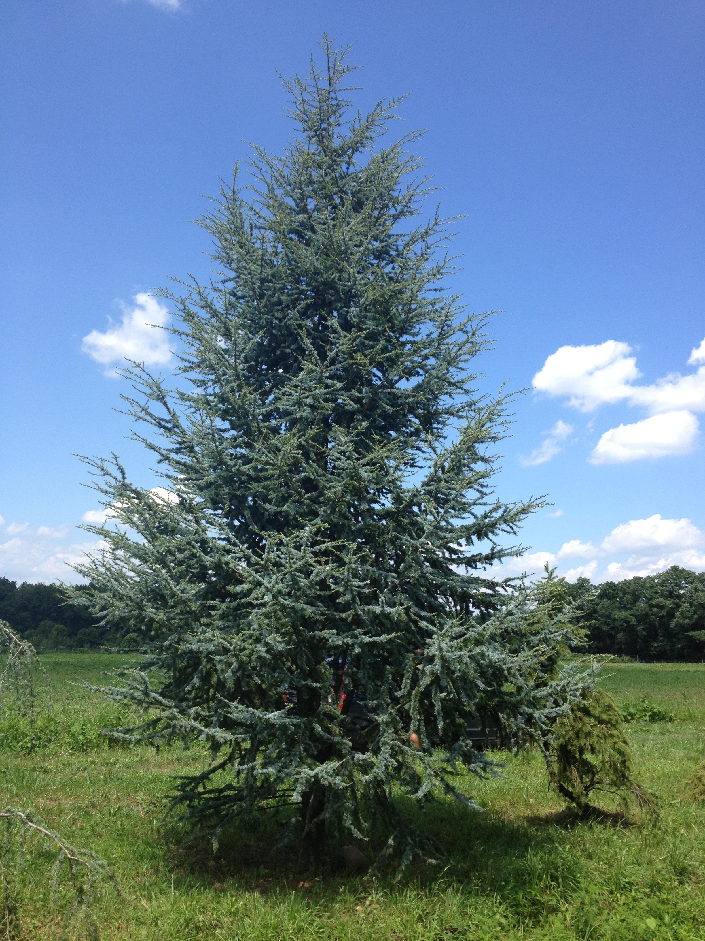 Cedar: Healing