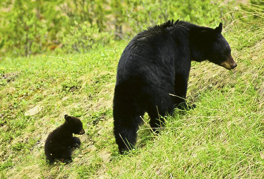 Bear & Her Cub