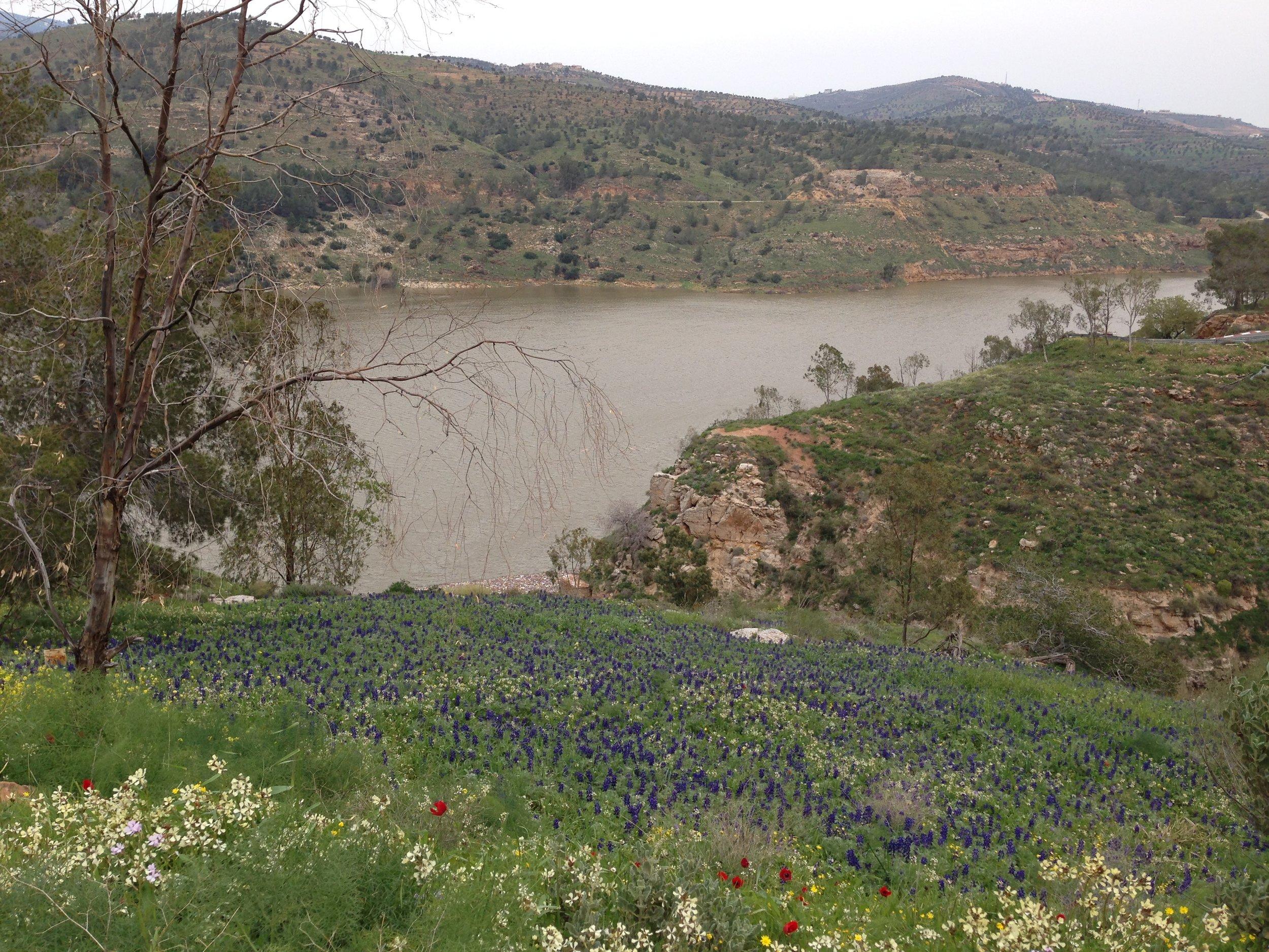 lupinus-pilosus-rbg-site-over-looking-king-talal-dam.jpg