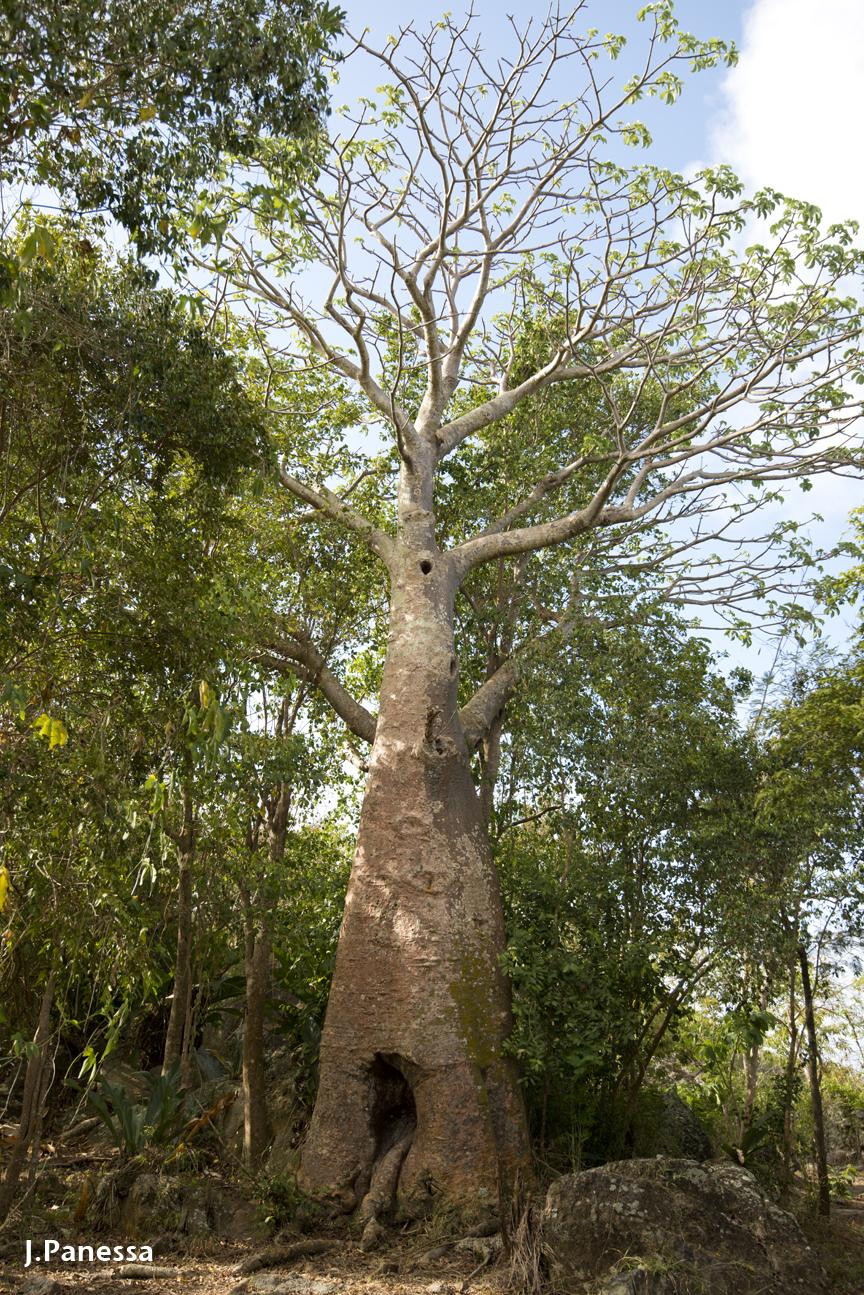 Johnny Panessa, St. John, Baobab tree- Plinth et al.