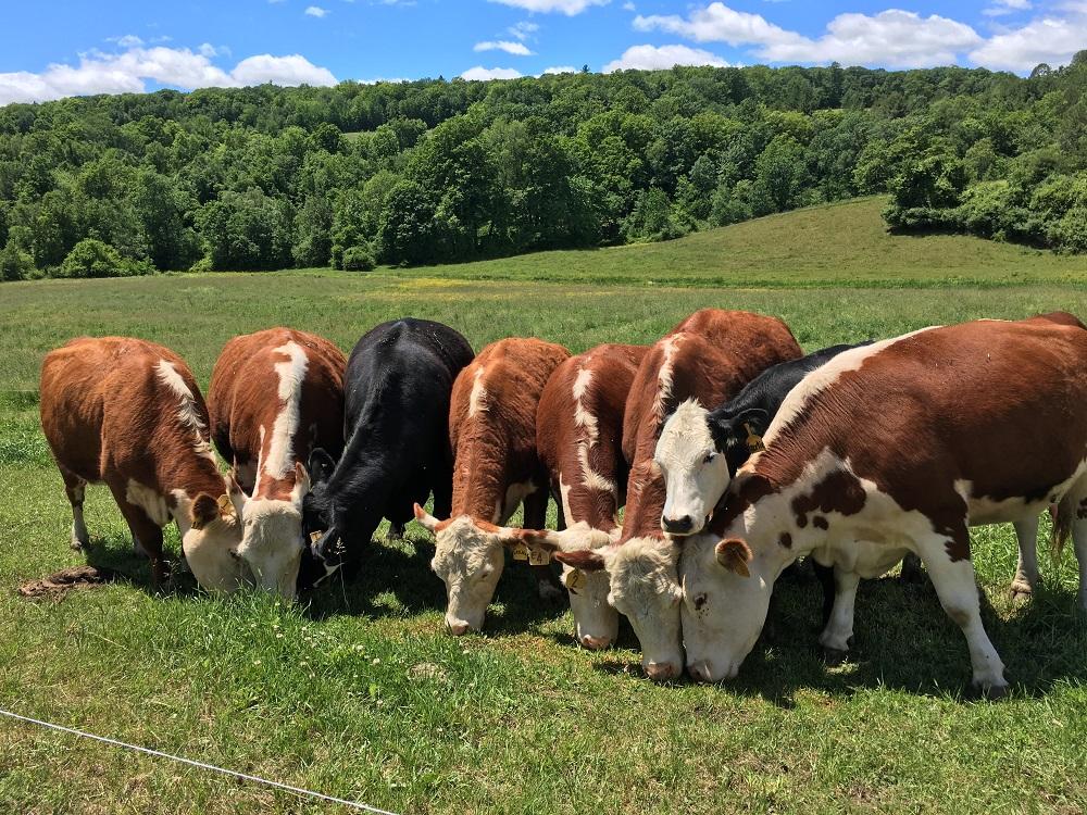 Happy_Cows_Grazing