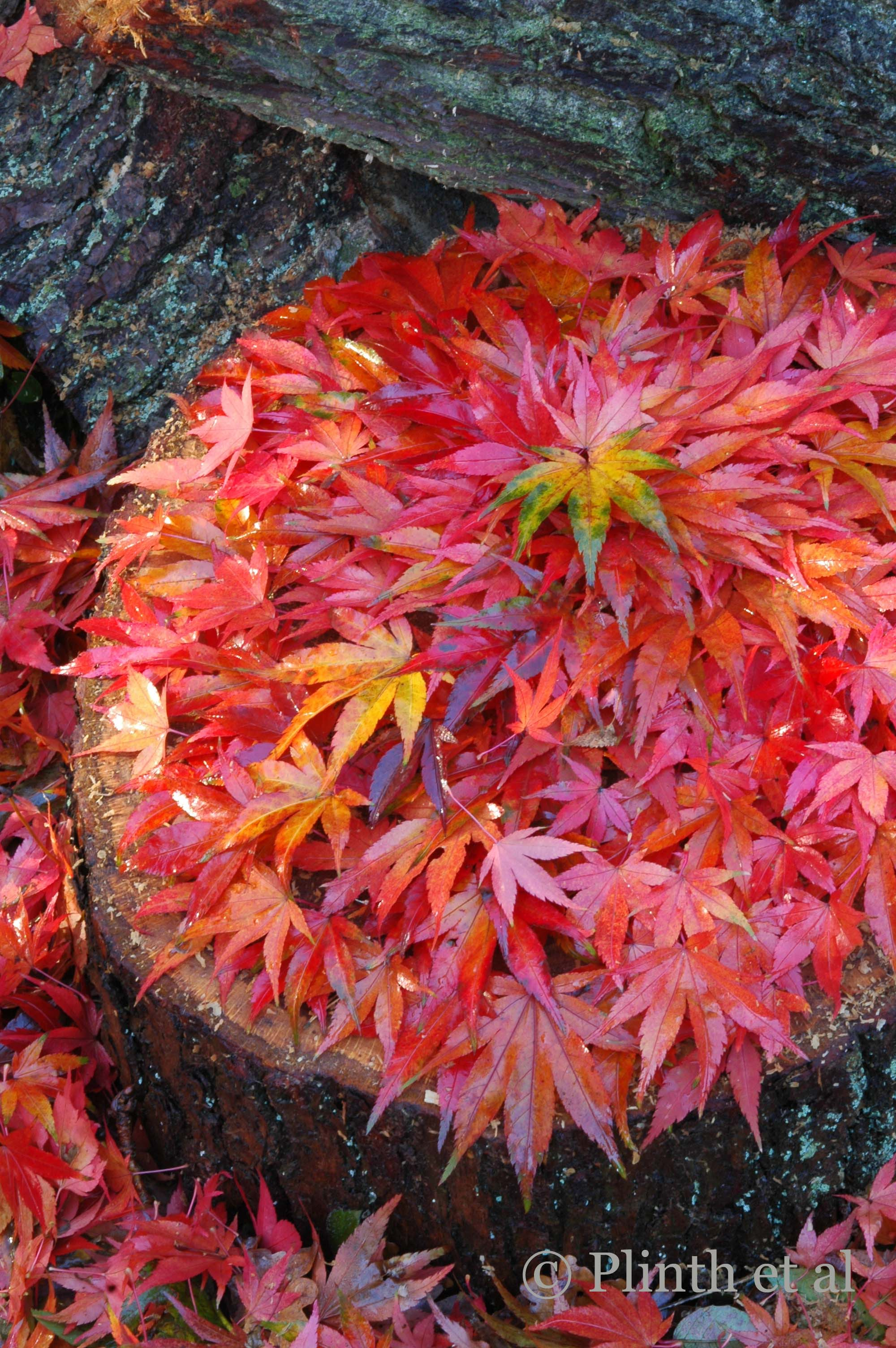 japanese_maples.jpg