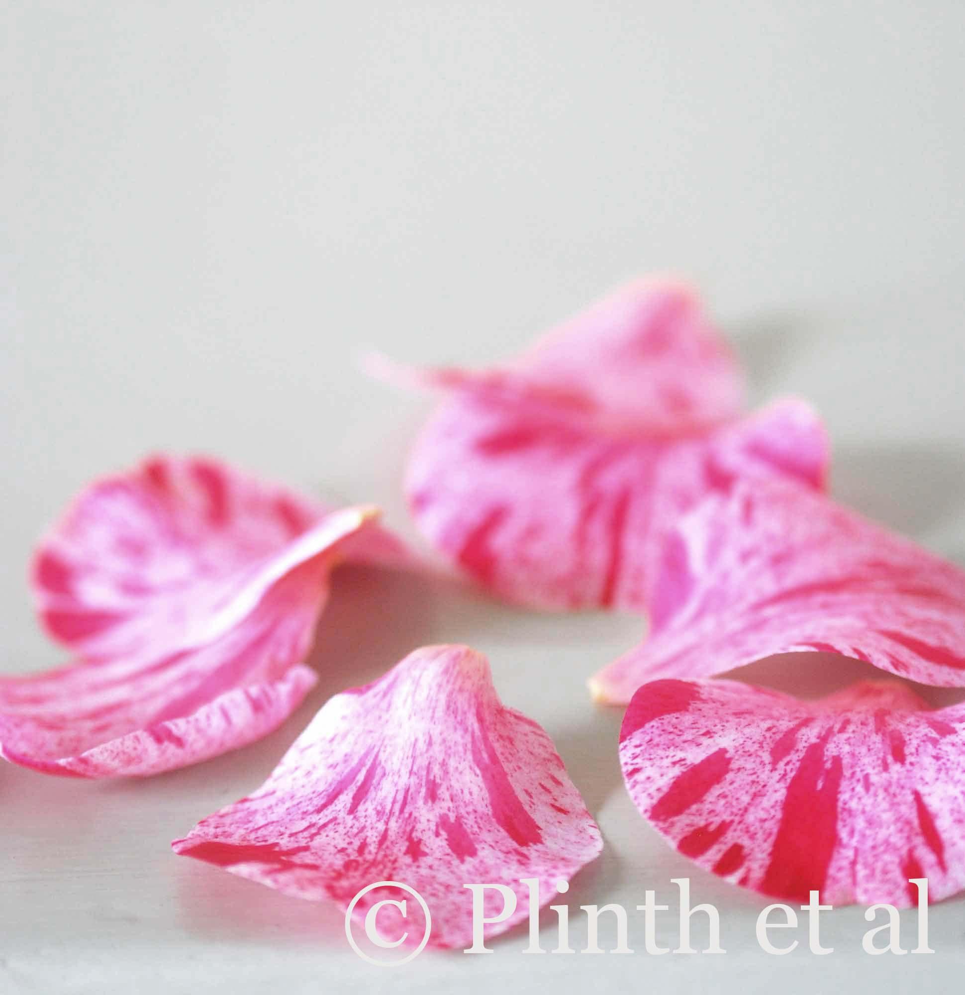 fallen-striped-camellia-petals-close-up-lq1.jpg