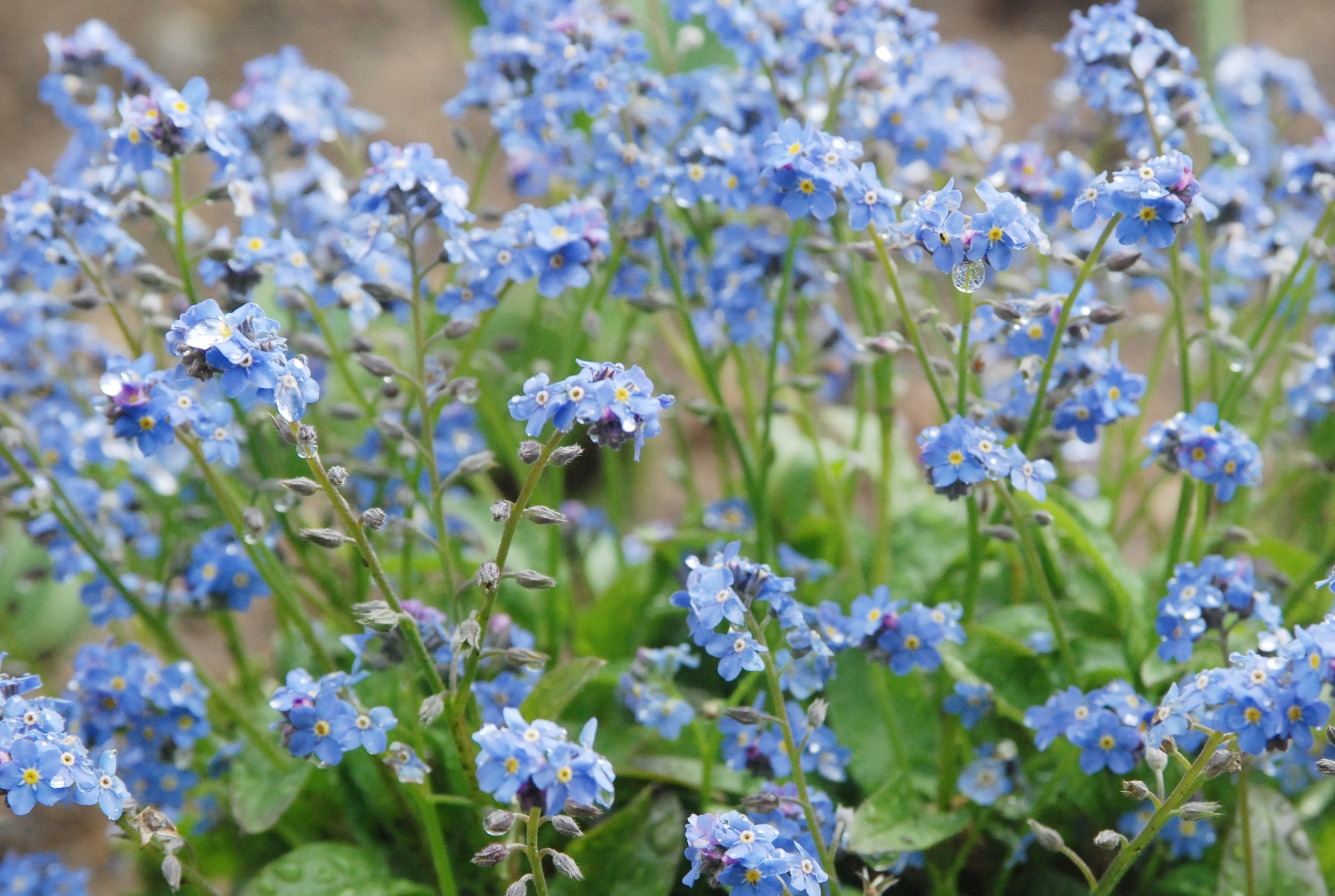 Forget-me-Not  (Myosotis sylvatica )