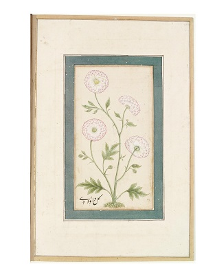 """Helpfully labeled gul-i dā'udī or """"David's flower,"""" the Persian and Urdu/Hindi name of the chrysanthemum, this study portrays a variety not unlike the one carved into the jade cup that ended up at the Chinese court. It is unclear when East Asian chrysanthemums reached South Asia, but small white or yellow semi-double or double forms like this appear to have been common in the seventeenth and eighteenth centuries, as they appear frequently in paintings and are mentioned in literature. Occasionally authors even remark on the pink or purple blush that some white varieties take on, as depicted here. Painting from the Small Clive Album, Mughal Empire, first half of the eighteenth century; Source: The Victoria and Albert Museum, London."""