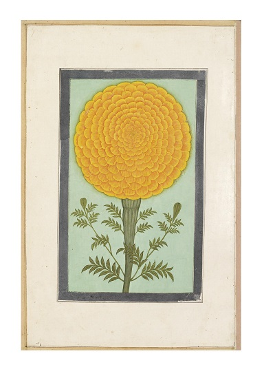 """This study beautifully captures what has perhaps become the most iconically """"Indian"""" flower, the African marigold ( Tagetes erecta ), which despite its misleading English common name is actually native to Mexico. It is unknown when exactly it reached South Asia but from the early seventeenth century it and the equally Mexican French marigold ( Tagetes patula ) appear frequently in South Asian art and are commonly referenced in literature, unlike many other new plants that must have reached the region during the same period. Painting from the Small Clive Album, Mughal Empire, Seventeenth Century; Source: The Victoria and Albert Museum, London."""