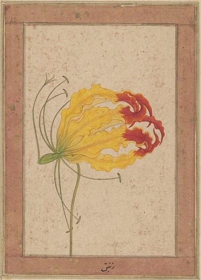 """Even though they occur naturally in South Asia and are very showy, depictions of gloriosa lilies are extremely rare in the Mughal floral repertoire. This perfect rendering of a flower of  Gloriosa superba  is therefore all the more remarkable. It is labeled """"zanbaq"""", a Persian term applied historically to many different types of lily- and iris-like plants, and oddly the source of the modern scientific name for the entirely un-lily-like Arabian jasmine,  Jasminum sambac . """"A Flame Lily,"""" India, c. 1650; Source: The Bodleian Library, Oxford."""