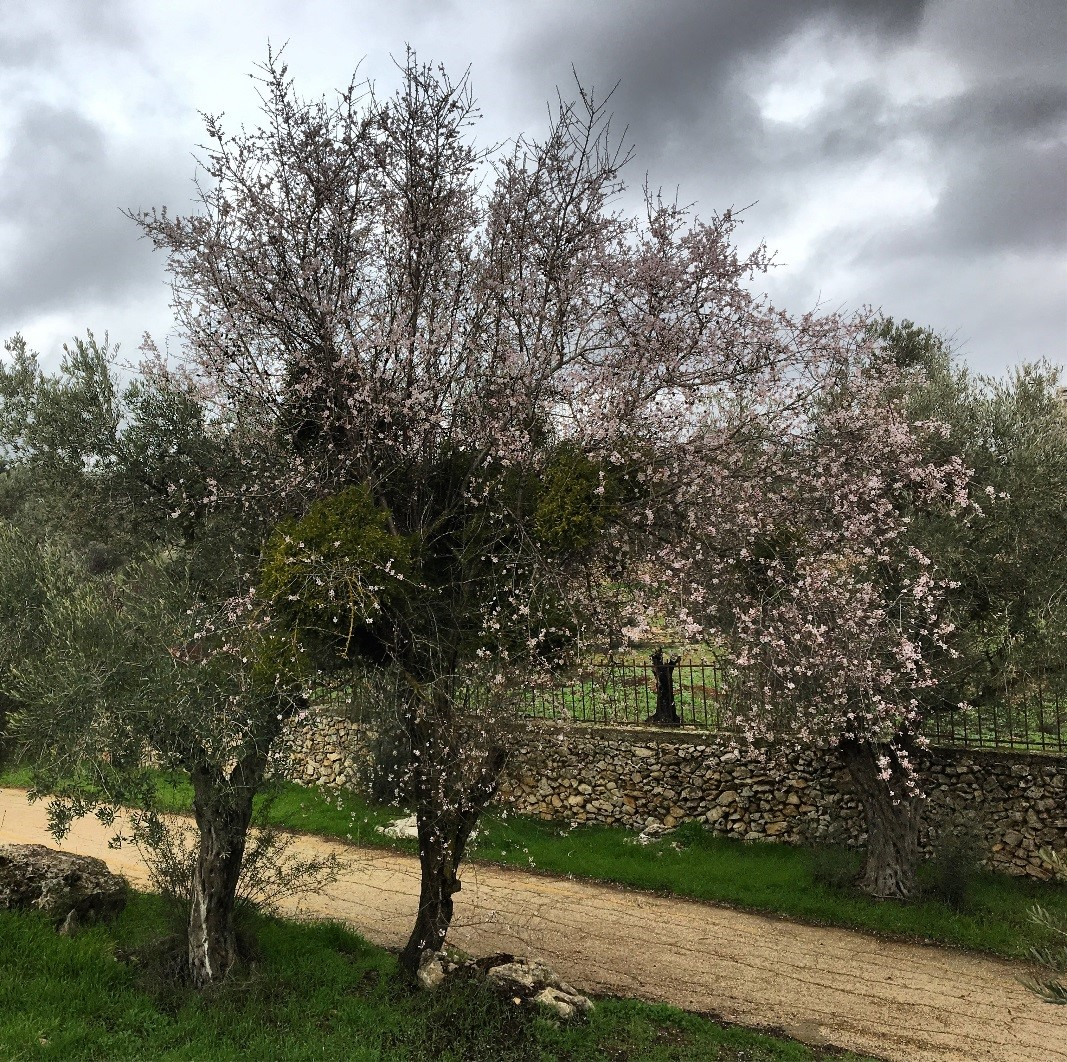 Prunus amygdalus  at the Valley of the Cross Park in Jerusalem, Israel