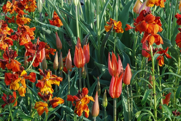 Tulipa  'Ballerina', somewhat dwarfed by its companions including  Erysimum  'Fire King', packs impact in its color and scent.