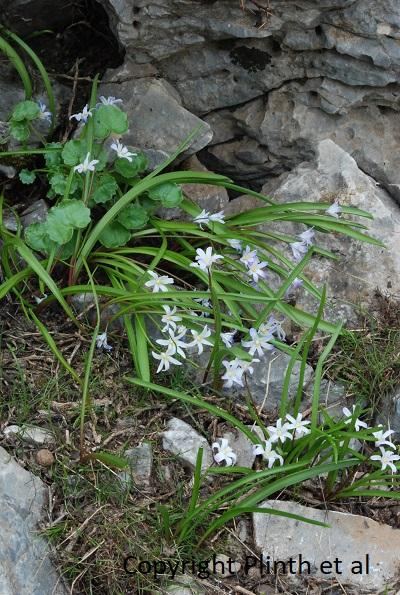 Scilla nana  (syn.  Chionodoxa nana ) not far from the snowbanks of Zeus's Cave in Crete.