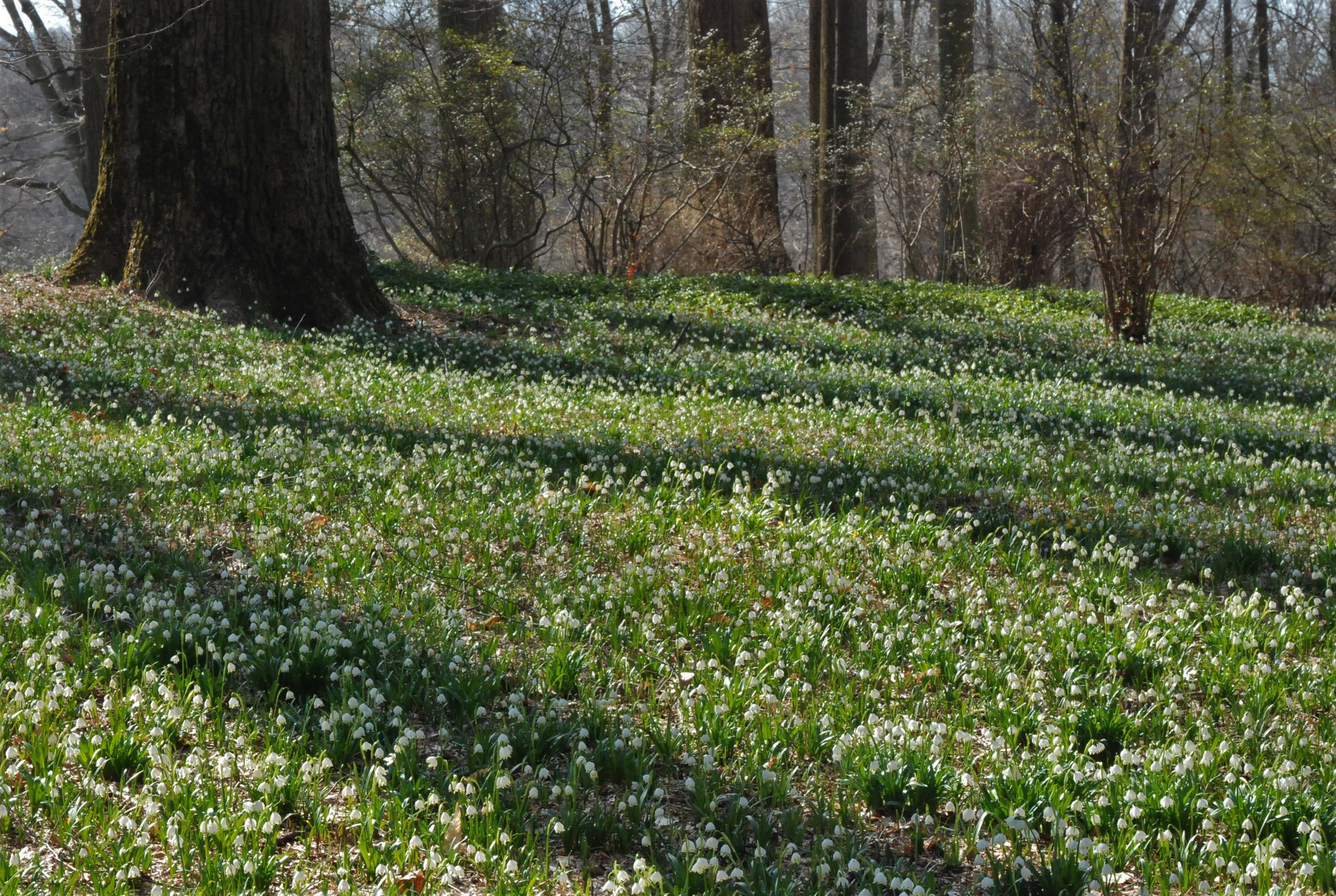 The entire woodland floor at the March Bank, Winterthur, DE, is carpeted with  Leucojum vernum  during early spring. Imagine thousands of flowers tinkering in the breezes and just scenting the warm air.