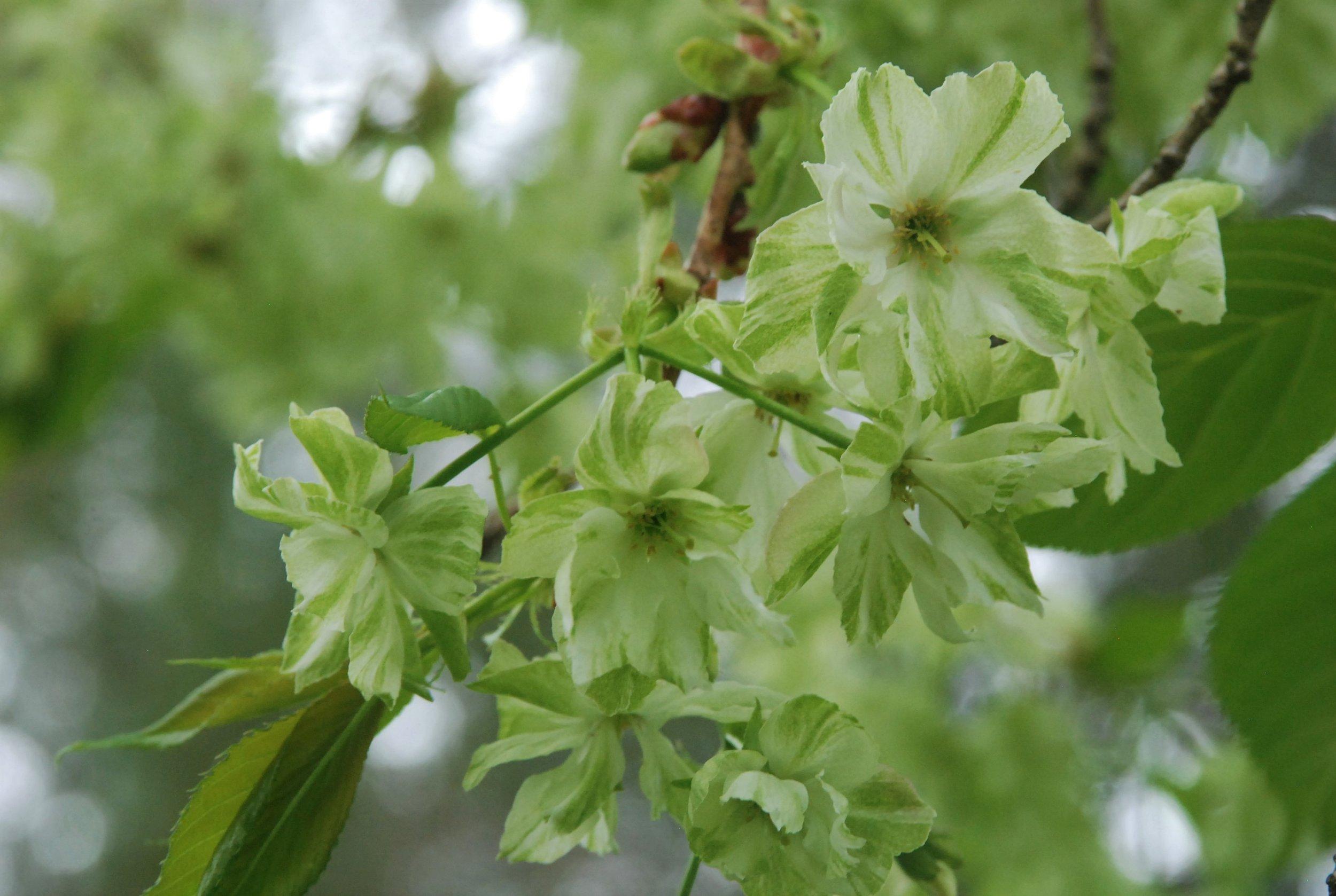 Prunus_green.jpg