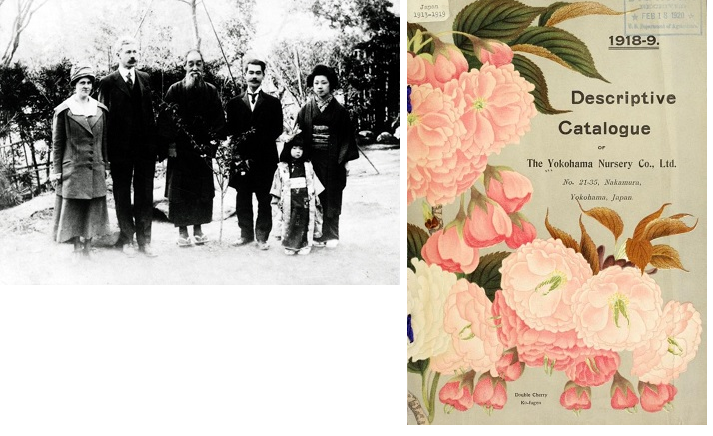 Left Image: Seisaku Funatsu in center and Walter Tennyson Swingle in Tokyo in 1918. Seisaku Funatsu was considered the 'the fountain head of cherry lore' by Collingwood Ingram. Walter Tennyson Swingle was a USDA botanist who specialized in taxonomy of citrus (Swingle classification is still used for citrus). He collected Chinese and Japanese books on plants, and would make frequent trips to Asia. Photo Credit: Rare and Special Collections, National Agricultural Library. Right Image: The Yokohama Nursery was Ingram's first call during this third and final trip to Japan in 1926. It was the main conduit through which Japanese plants were introduced to US and western Europe.