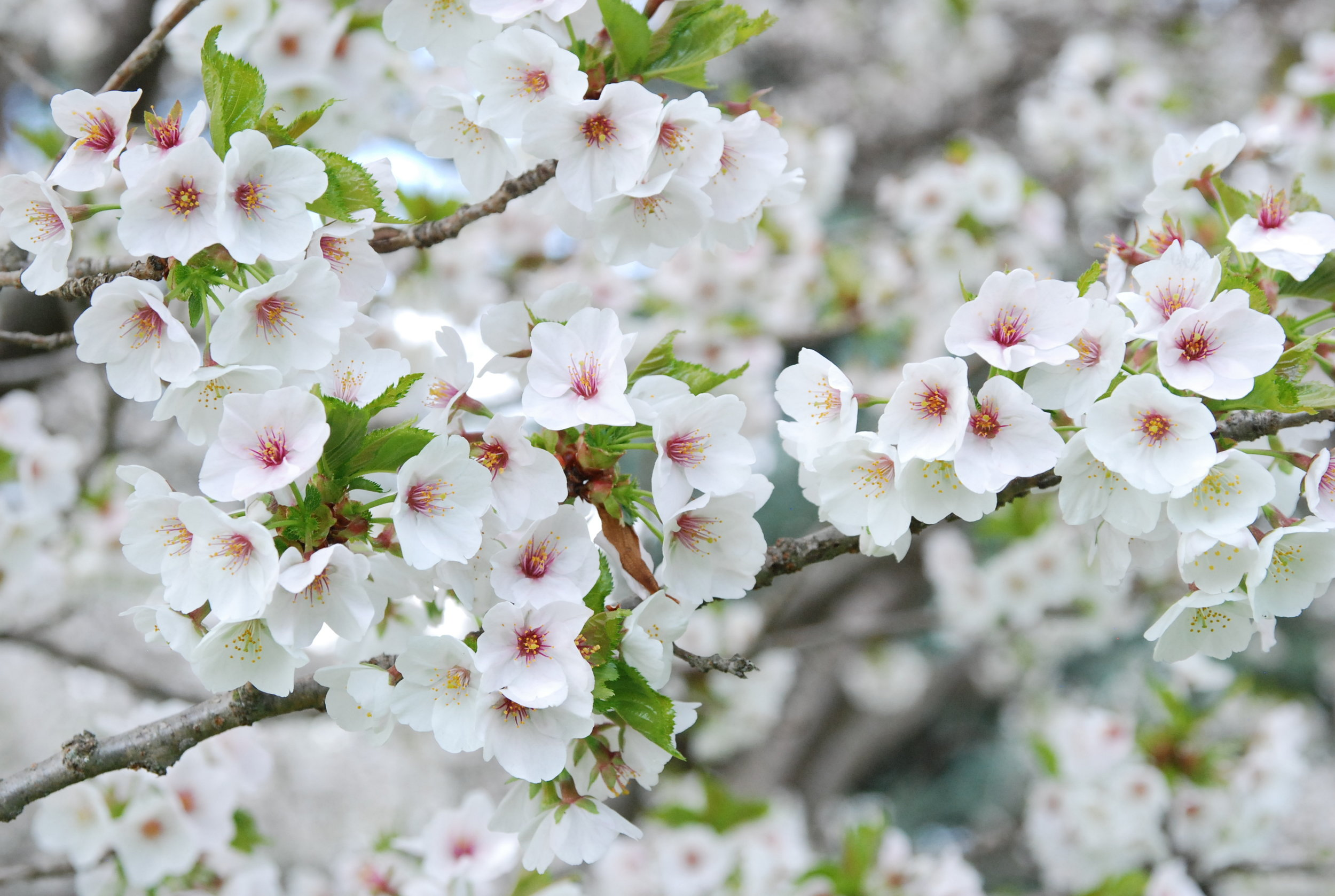 Prunus  'Umineko' inspired Collingwood Ingram to hybridize flowering cherries after he began to amass a collection. He named this chance seedlings after the Japanese word for seagull since the tight clusters of flowers reminded him flocks of seagulls congregating closely together.