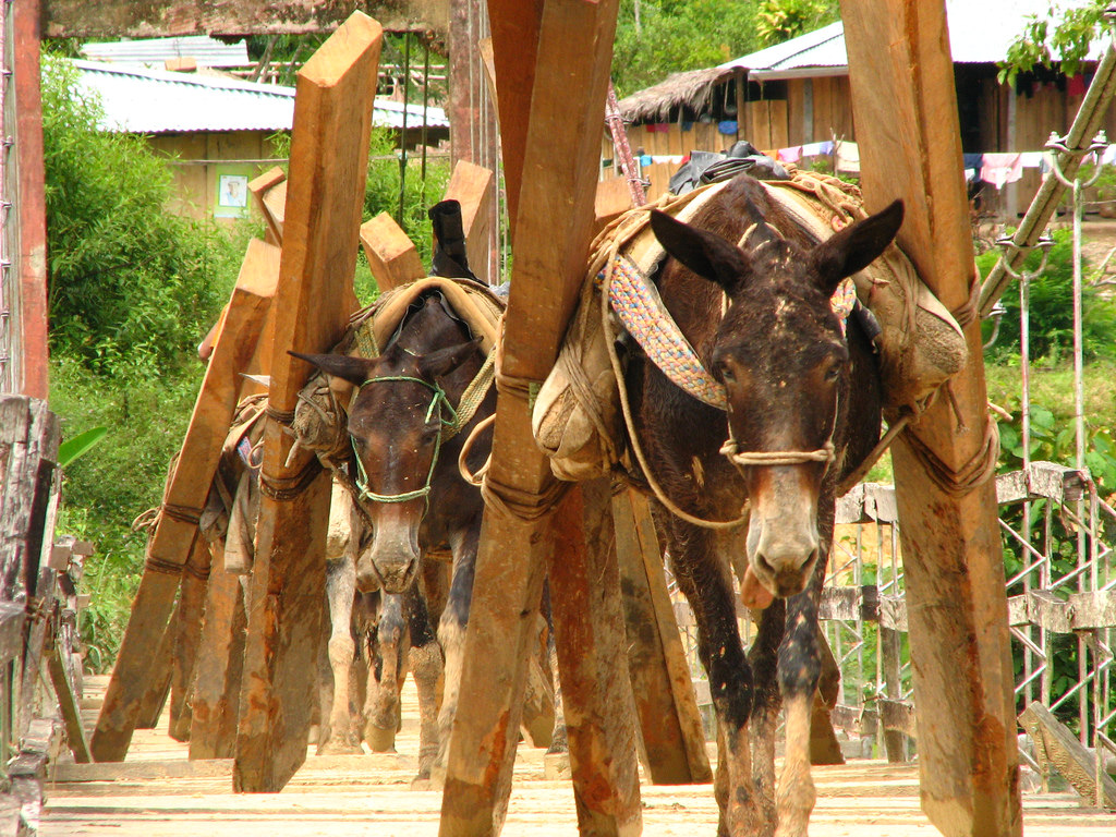 Mules working.jpg