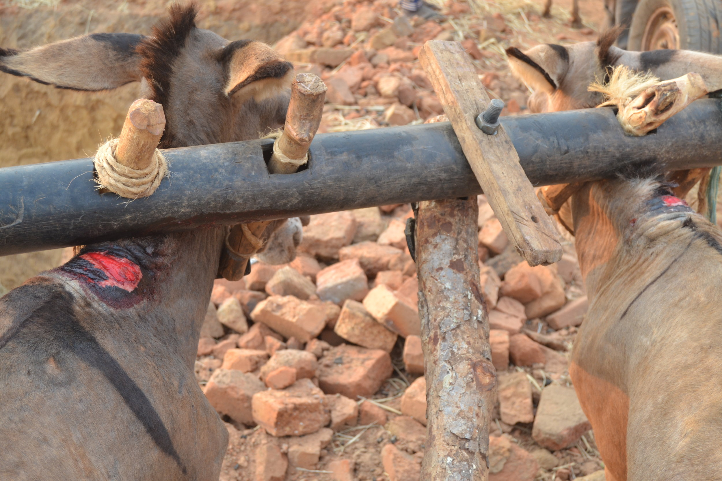Painful yoke cart causing pain and wounds from the heavy yoke on the donkeys necks.
