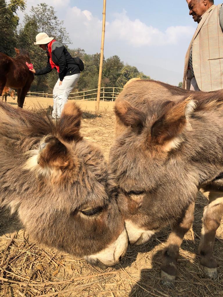 Donkeys Nepal.jpg