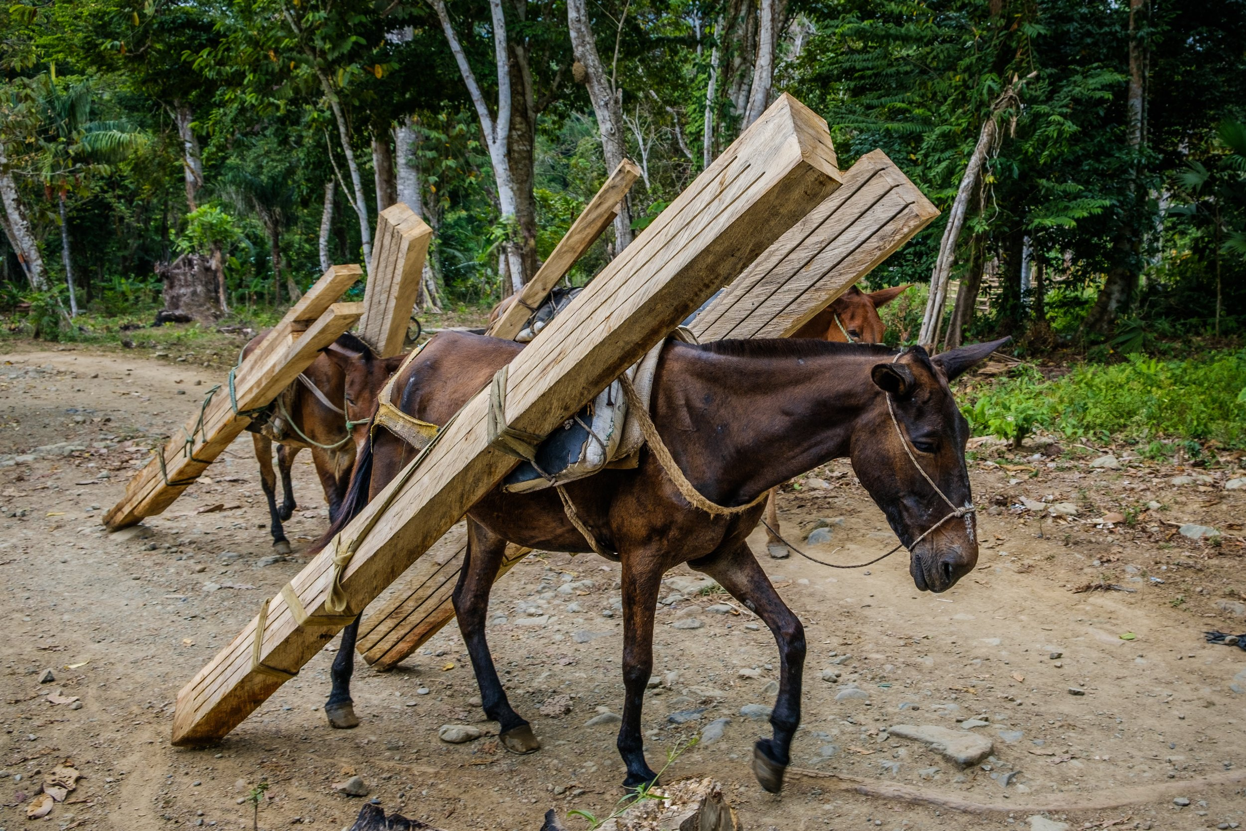 SS working horses carrying timber.jpg