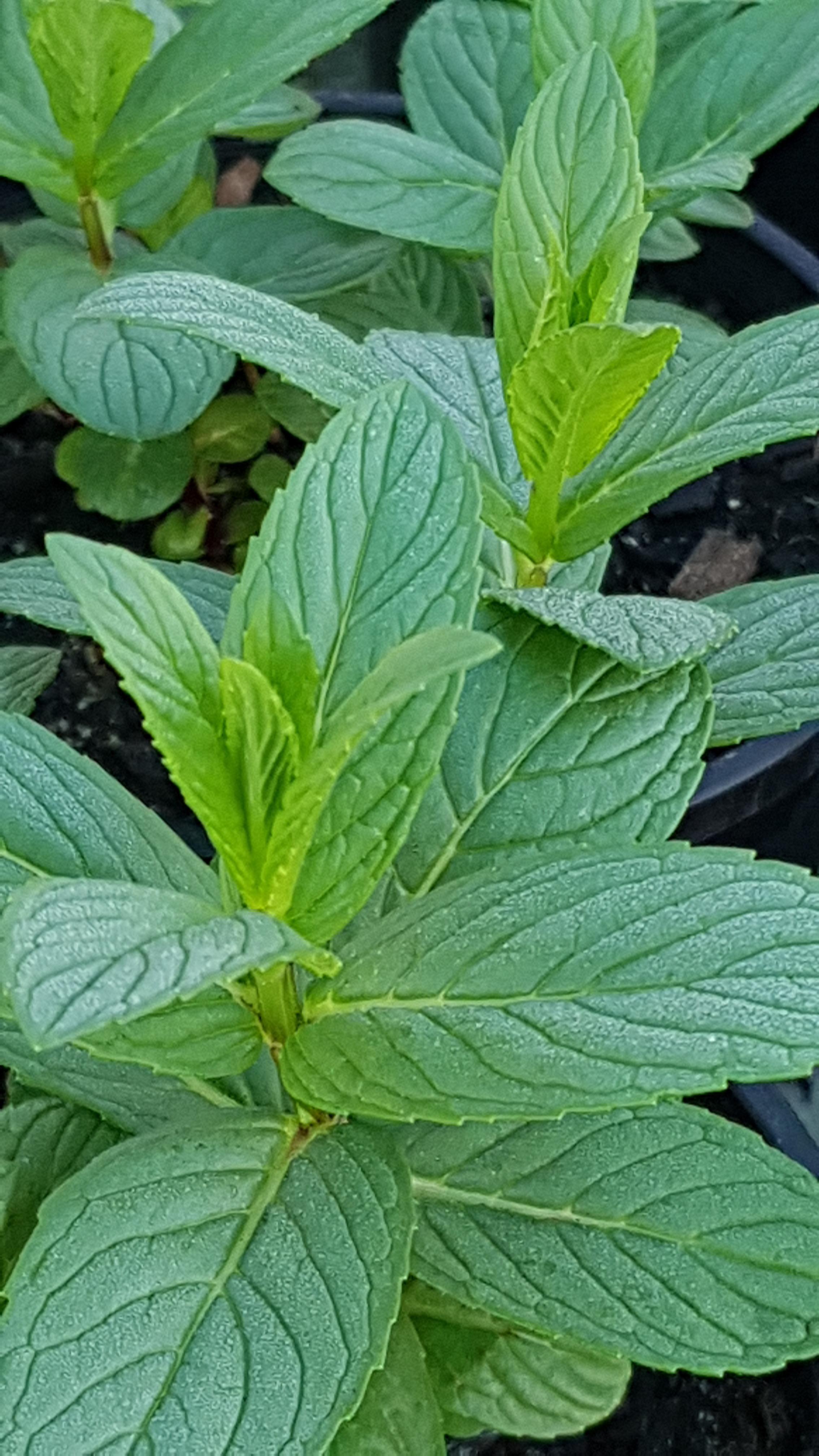Country herbals 5.jpg