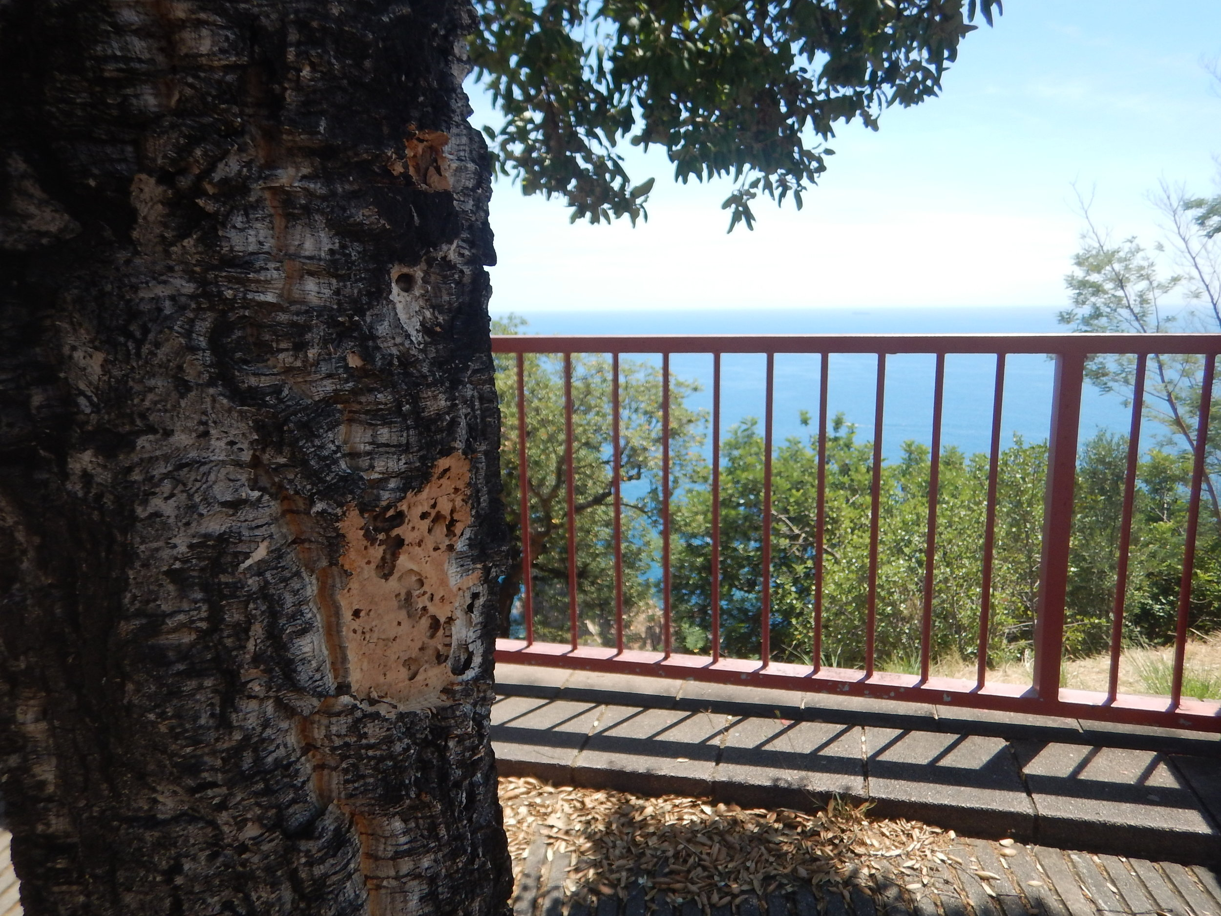 CORRECTION  Today as I was leaving Spain and heading to France along the coast I spied this cork tree at a scenic lookout. So they obviously thrive at sea level too. You can see on the trunk where someone has removed some bark to show the cork.